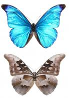 Morpho rhetenor rhetenor (Cramer, 1775)