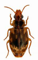 Phacocerus sp11