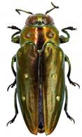 Chrysobothris andica Obenberger, 1926