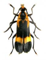 Euryptera sp