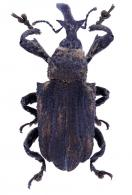 Conoderinae Gen sp63