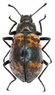 Cuphotes maculicollis (Thomson, 1859)