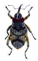 Conoderinae Gen sp5
