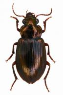 Notiobia sp2