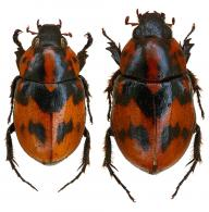 Cyclocephala picipes  (Olivier, 1789)  ♂ & ♀