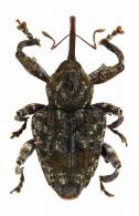 Conotrachelus sp62