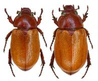 Cyclocephala perforata  Arrow, 1911  ♂ & ♀