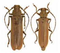 Criodion cinereum  (Olivier, 1795)  ♂ & ♀