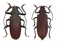 Protorma costifer (Thomson, 1877) ♂ & ♀
