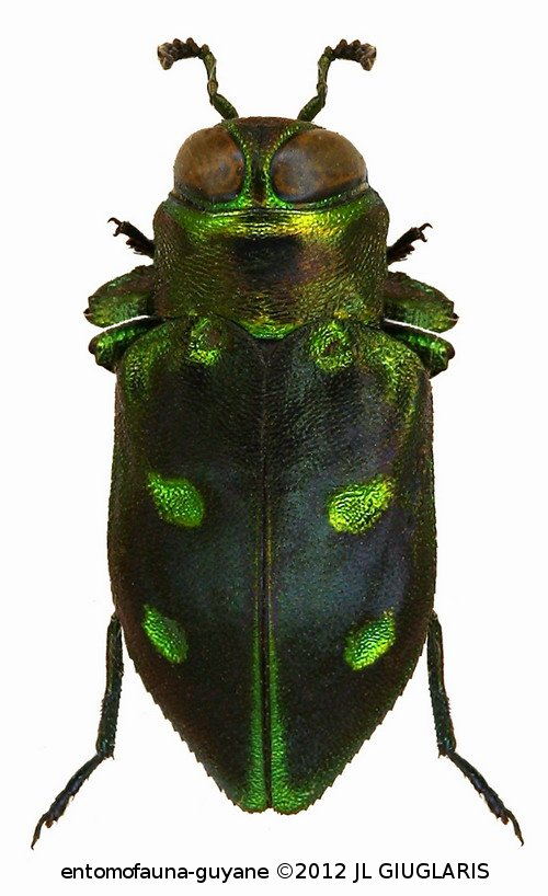 Chrysobothris catascopa Thomson, 1879
