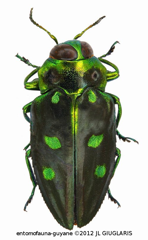 Chrysobothris biimpressa (Chevrolat)