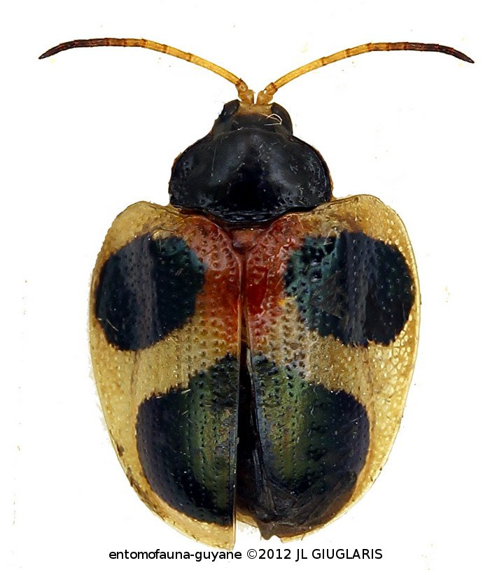 Cassidinae Gen sp2